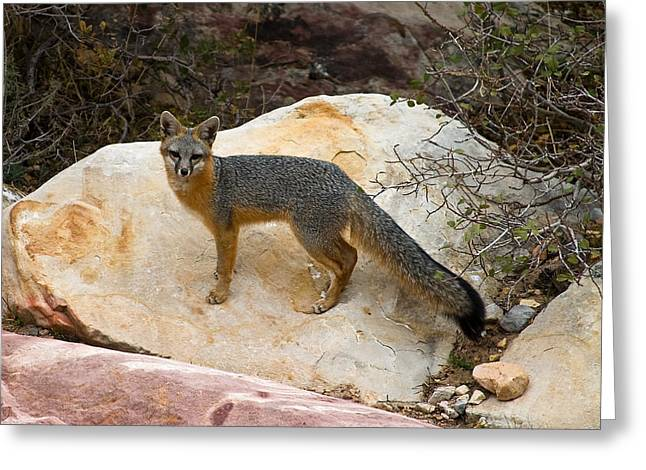 James Marvin Phelps Greeting Cards - Gray Fox Greeting Card by James Marvin Phelps
