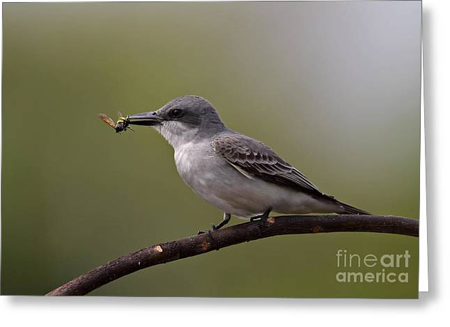 Greater Antilles Greeting Cards - Gray Kingbird Greeting Card by Neil Bowman/FLPA