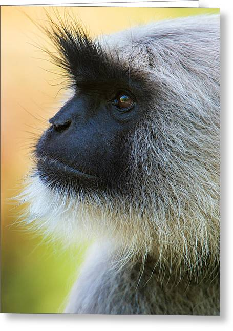 Gray Hair Greeting Cards - Gray Langur Monkey, Kanha National Greeting Card by Panoramic Images