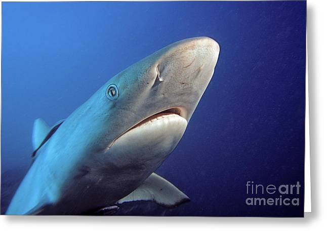 Deep Fears Greeting Cards - Gray reef shark Greeting Card by Dave Fleetham - Printscapes