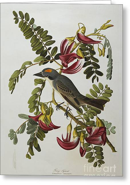 Gray Tyrant Greeting Card by John James Audubon