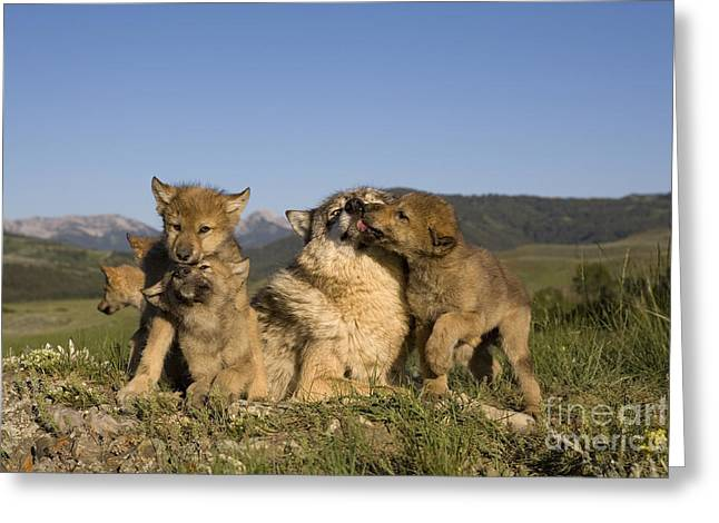 Gray Muzzle Greeting Cards - Gray Wolf And Cubs Greeting Card by Jean-Louis Klein & Marie-Luce Hubert