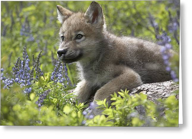 Waist Up Greeting Cards - Gray Wolf Canis Lupus Pup Amid Lupine Greeting Card by Tim Fitzharris