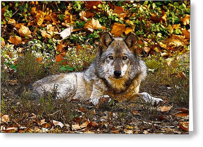 Gray Wolf in Autumn Greeting Card by Sandy Keeton