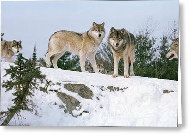 Canis Greeting Cards - Gray Wolves Canis Lupus In A Forest Greeting Card by Panoramic Images