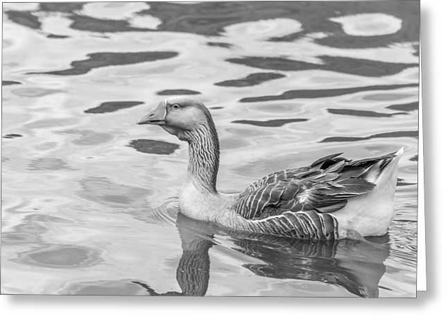 Water Fowl Greeting Cards - Graylag Greeting Card by Derrick Scofield