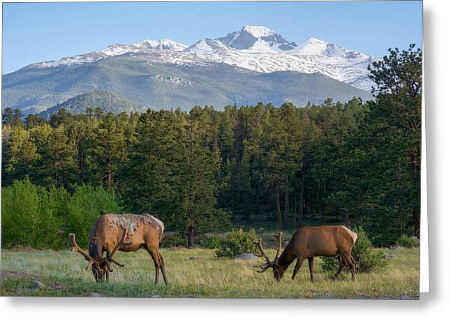 Snow Capped Greeting Cards - Grazing Elk with Longs Peak Greeting Card by Aaron Spong
