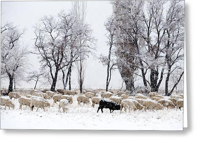 Grazing Snow Greeting Cards - Grazing Sheep Greeting Card by Inga Spence