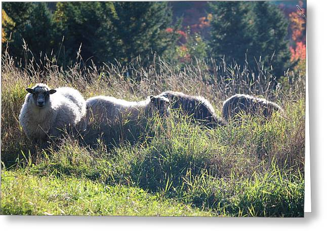 Grazing Sheep Two Greeting Card by Nicholas Miller