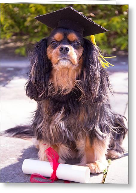 Spaniel Greeting Cards - Graduation Cavalier King Charles Spaniel Greeting Card by Daphne Sampson
