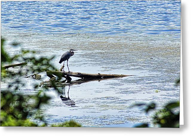 Hunting Bird Greeting Cards - Great Blue Heron Greeting Card by Cricket Hackmann