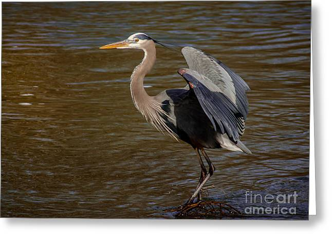 Cabin Window Greeting Cards - Great Blue Heron - Flooded Creek Greeting Card by Robert Frederick