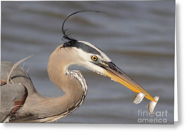 Minnows Greeting Cards - Great Blue Heron Gets TwoFer Greeting Card by Robert Frederick