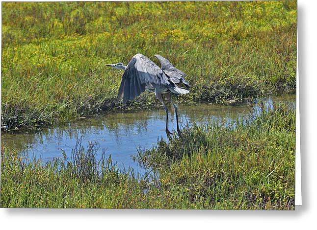 Reserve Greeting Cards - Great Blue Heron I  Greeting Card by Linda Brody