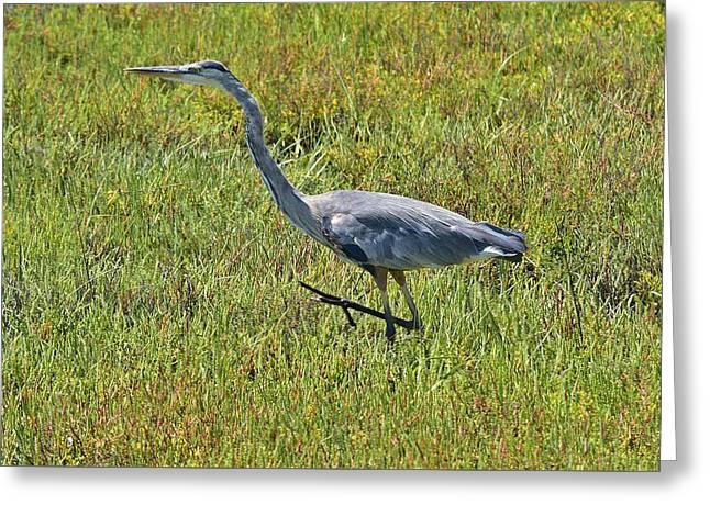Wildlife Refuge. Greeting Cards - Great Blue Heron III Greeting Card by Linda Brody