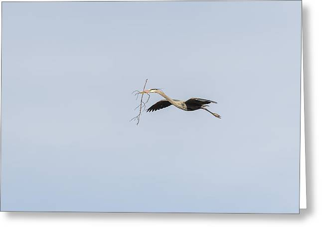 Herodias Greeting Cards - Great Blue Heron In Flight 2015-2 Greeting Card by Thomas Young