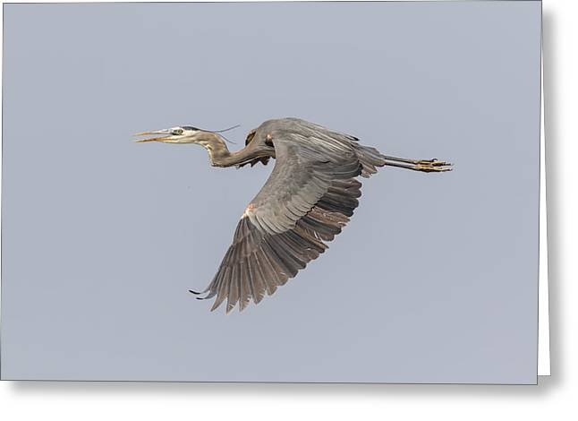 Great Migration Greeting Cards - Great Blue Heron In Flight 2015-4 Greeting Card by Thomas Young