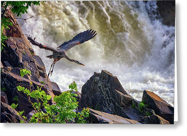 Great Blue Heron In Flight Greeting Card by Rick Berk