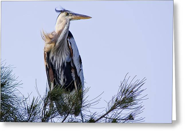 Great Blue Heron On A Windy Day Greeting Card by Roger Wedegis