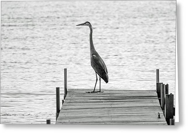 Great Blue Heron On Dock - Keuka Lake - Bw Greeting Card by Photographic Arts And Design Studio