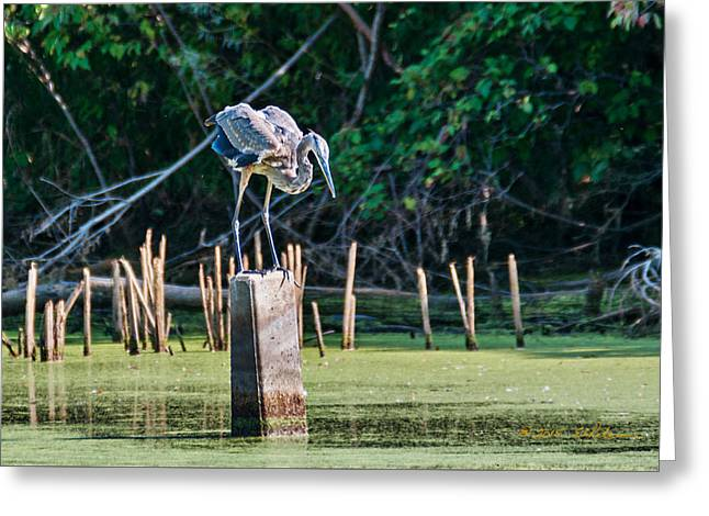 Aquatic Greeting Cards - Great Blue Heron Posed Greeting Card by Edward Peterson