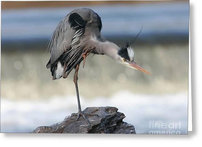 Morgan Hill Greeting Cards - Great Blue Heron Preening Greeting Card by Morgan Hill