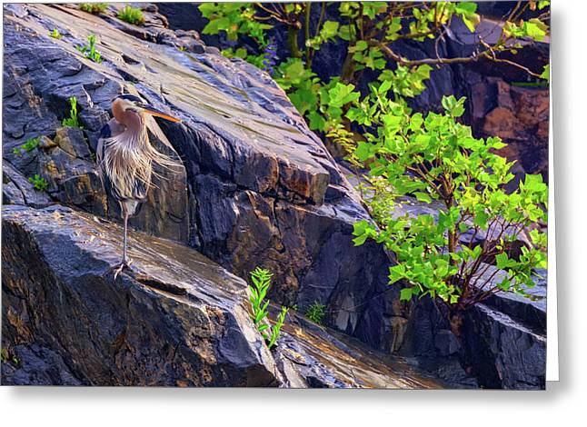 Great Blue Heron Greeting Card by Rick Berk
