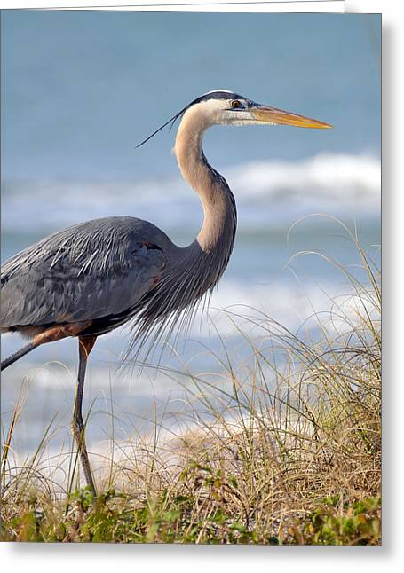 Great Birds Greeting Cards - Great Blue Heron Greeting Card by Rose  Hill