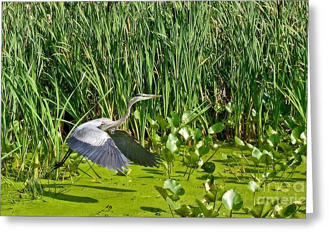 Algae Greeting Cards - Great Blue Heron Takes Flight Greeting Card by Ann Horn
