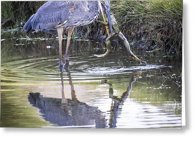 Hunting Bird Greeting Cards - Great Blue Heron vs Huge Frog Greeting Card by Ricky L Jones