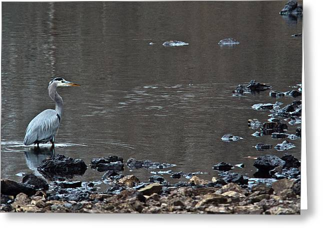Great Blue Heron Wading 1 Greeting Card by Douglas Barnett