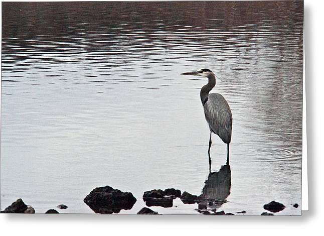 Great Blue Heron Wading 3 Greeting Card by Douglas Barnett