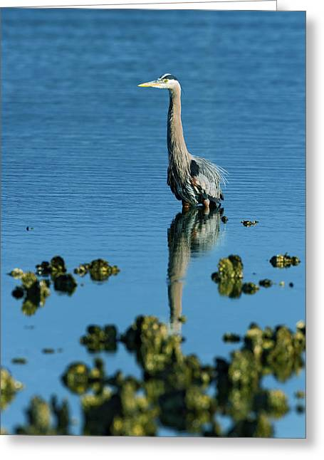 Great Blue Heron Wading Greeting Card by Gary Langley