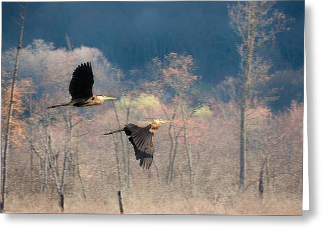 Heron Greeting Cards - Great Blue Herons in Flight Greeting Card by Bill Wakeley