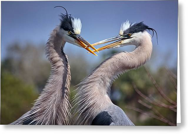 Pelicaniformes Greeting Cards - Great Blue Herons Greeting Card by Robert Grauer
