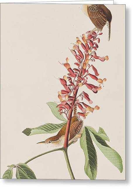 Great Drawings Greeting Cards - Great Carolina Wren Greeting Card by John James Audubon