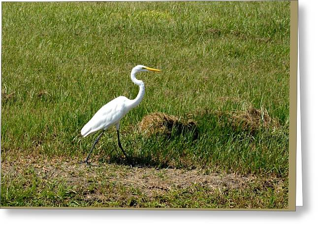Pelicaniformes Greeting Cards - Great Common Egret Greeting Card by D S Images