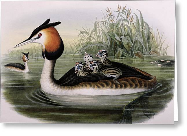 Great Crested Grebe  Greeting Card by John Gould