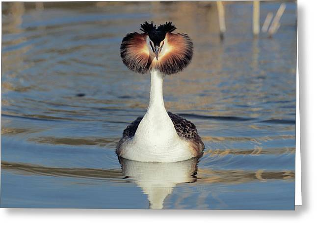 Animal Behaviour Greeting Cards - Great Crested Grebe Podiceps Cristatus Greeting Card by Danny Ellinger