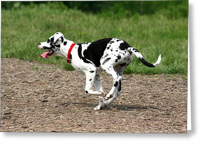 Harlequin Great Dane Puppies Greeting Cards - Great Dane Harlequin Puppy Greeting Card by David Dunham