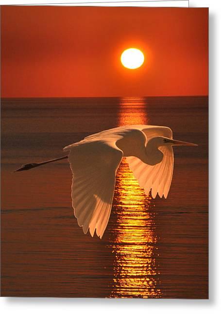 Ellenisworkshop Greeting Cards - Great Egret at sunset Greeting Card by Eric Kempson