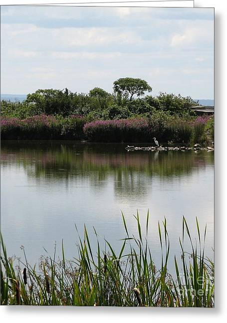 York Beach Greeting Cards - Great Egret at Times Beach Nature Preserve in Buffalo New York Greeting Card by Rose Santuci-Sofranko