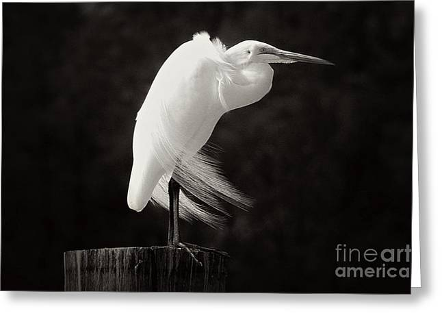 Ghostly Greeting Cards - Great Egret Black and White Greeting Card by Vickie Emms