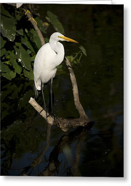 Great Egret Greeting Cards - Great Egret Greeting Card by Chad Davis