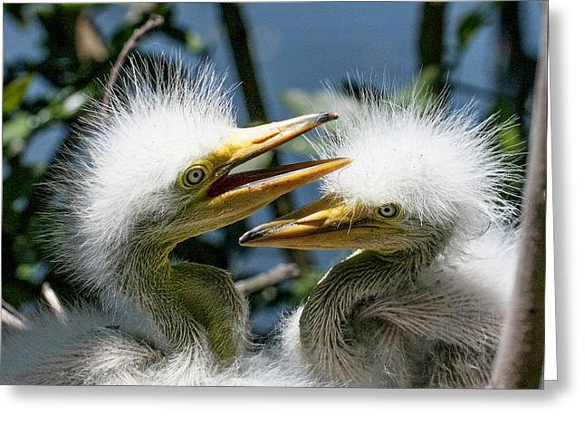 Hungry Chicks Greeting Cards - Great Egret Chicks Greeting Card by Brian Tarr