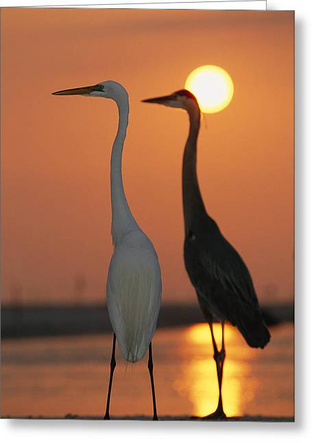 Sunset Scenes. Greeting Cards - Great Egret, Egretta Alba, In Front Greeting Card by Roy Toft