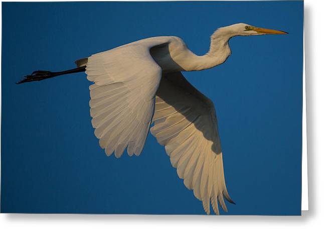 Great Egret In Flight Greeting Card by Flying Turkey