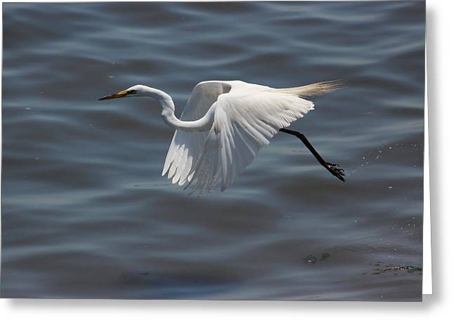 Shorebird Greeting Cards - Great Egret in flight #2 Greeting Card by Joe Valencia