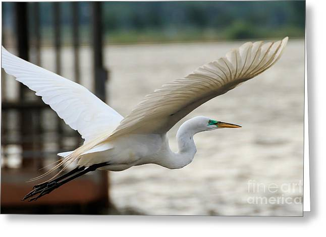 Flying Animal Greeting Cards - Great Egret in Flight Greeting Card by Richard Smith