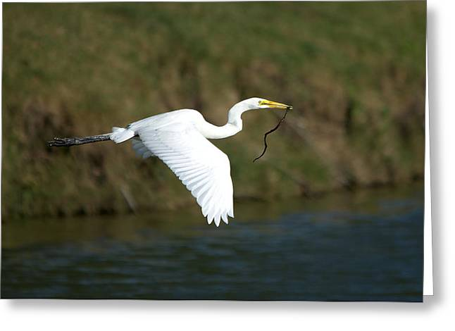 Hunting Bird Greeting Cards - Great Egret In Flight With Nest Material Greeting Card by Roy Williams